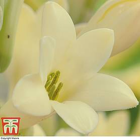 polianthes tuberose yellow baby