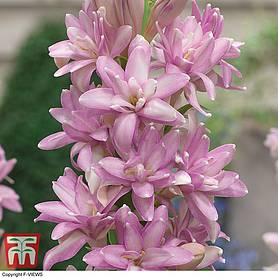 polianthes tuberosa pink sapphire