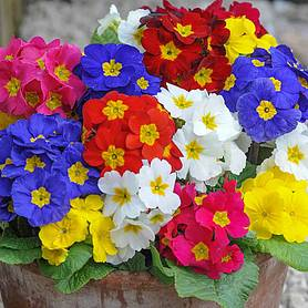 polyanthus most scented mix
