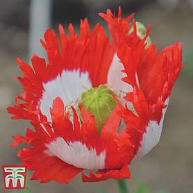 poppy danish flag