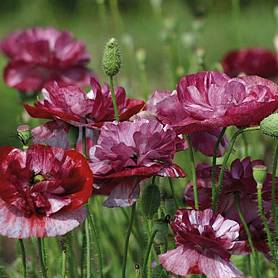 poppy burgundy bigalow