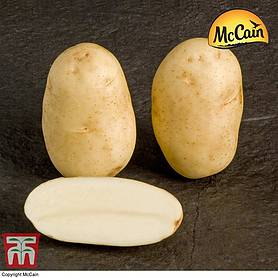 Potato McCain 'Shepody'