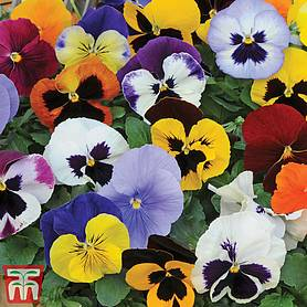 pansy matrixtrade mixed