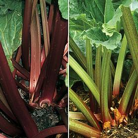 rhubarb rhs collection springautumn planting