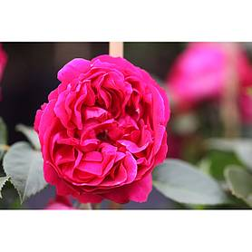 climbing roses thompson morgan. Black Bedroom Furniture Sets. Home Design Ideas