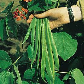 runner bean red rum