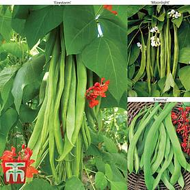 runner bean collection