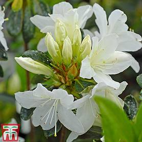 rhododendron snow white azalea group patio standard