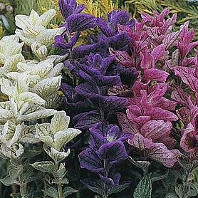 salvia horminum claryssa mixed