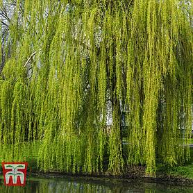 golden weeping willow hedging