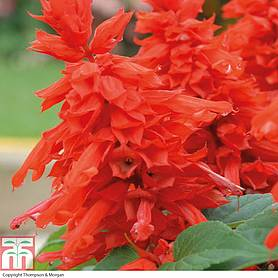 salvia splendens blaze of fire