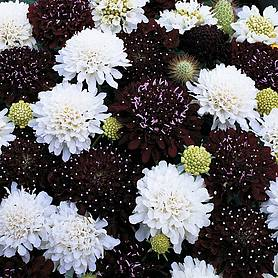 scabious ebony and ivory