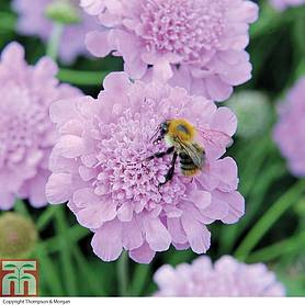 scabious kudos purple