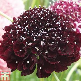 scabious scoop collection
