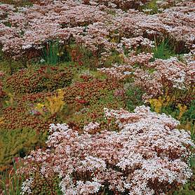 sedum rock garden mixed