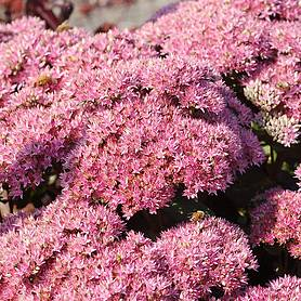 sedum beach party
