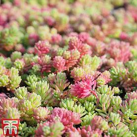 sedum mix house plant