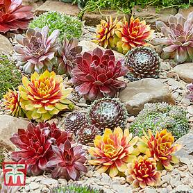 sempervivum chick charmsreg collection
