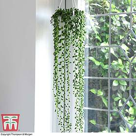senecio string of pearls house plant