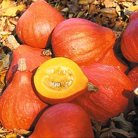 squash potimarron winter