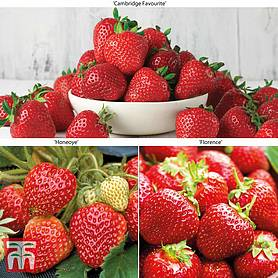Strawberry Full Season Collection