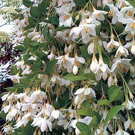 styrax japonicus fragrant fountain