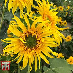 sunflower astra gold