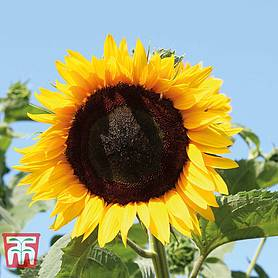 sunflower high hopes