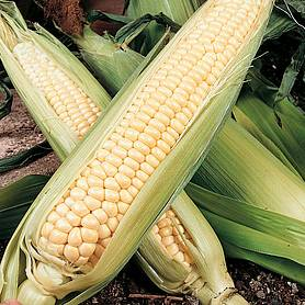 sweetcorn northern extra sweet f hybrid supersweet