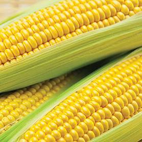 sweetcorn conquerer f hybrid supersweet
