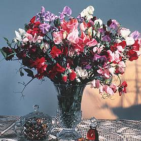 sweet pea antique fantasy mixed