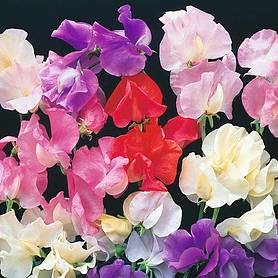 sweet pea bright and breezy