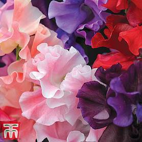 sweet pea tm prize strain mixed
