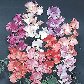 sweet pea fragrant startagardentrade range