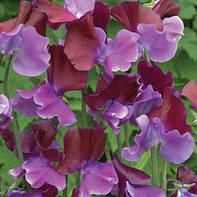 sweet pea purple pimpernel