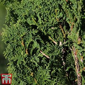 thuja occidentalis degroots spire
