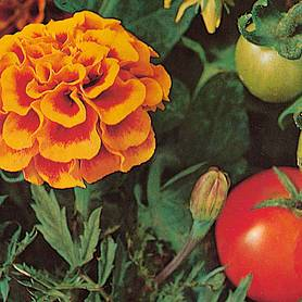 marigold tomato growing secret