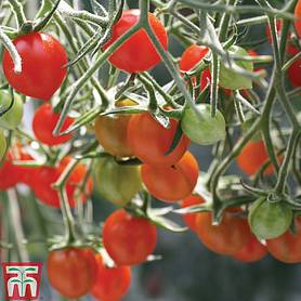 tomato tomberry red grafted