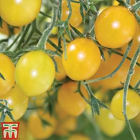 tomato tomberry yellow grafted
