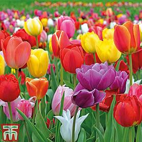 tulip majestic mix