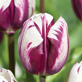 tulip blueberry ripple