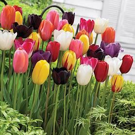 Flower Bulbs Tubers