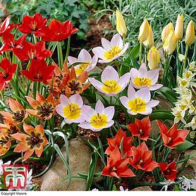 tulip ground cover mix