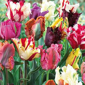 tulip mixed parrot