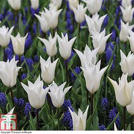 tulip white and muscari blue mix