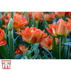 tulip exotic orange