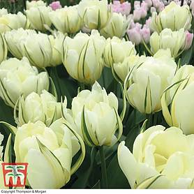 tulip white valley