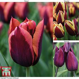 tulip striped mix