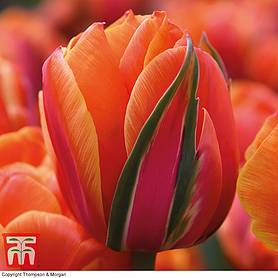 tulip queensday and white valley collection