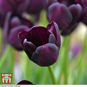 tulip queen of the night